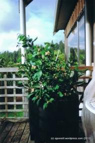 First lemon grown in Raurimu 002